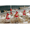 Poultry Drinking Line (China)